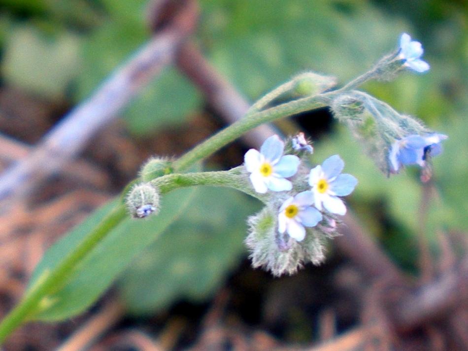 Myosotis-laxa-2009-10-05-01